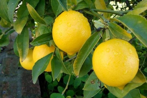 Limun3-575x382