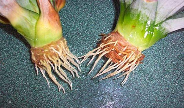 ananas-4